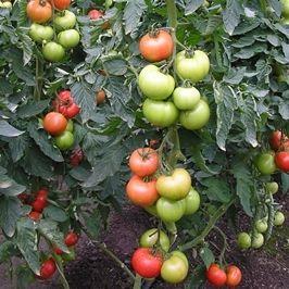 varpos formos pomidorų veislė
