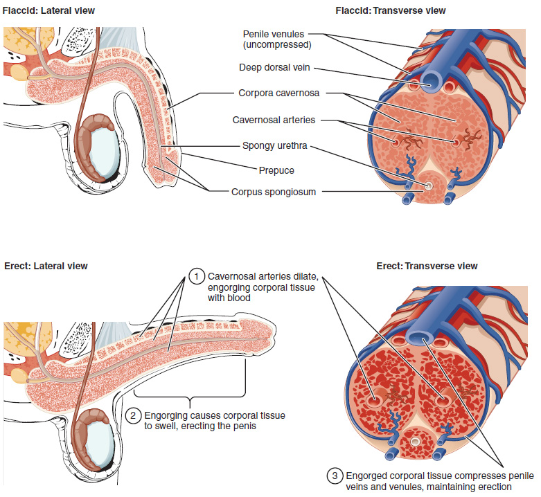 penis 20cm erekcija prezervatyvus nuo kurio nario dydis